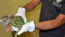 L'iguana verde ritrovata