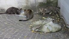 Colonia di gatti in via Sarinola
