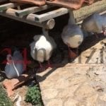 Le paperelle di Parco Recillo vittime di balordi (#video)