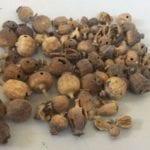 Fondi, sequestrati 110 grammi di bulbi di papavero da oppio: un arresto