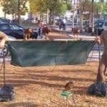 A Latina falchi in azione per allontanare gli storni