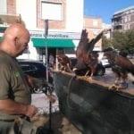 I falchi liberano il centro urbano di Latina dagli storni