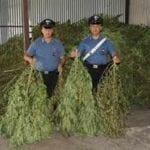 Scoperte 825 piante di marijuana in un capannone: 5 arresti a Minturno