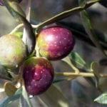 Promozione dell'oliva cultivar Itrana: il convegno a Roccasecca dei Volsci