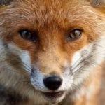 Piano di controllo della volpe, gli ambientalisti bloccano l'uccisione in alcune aree della Provincia