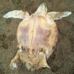 Tartaruga morta sulla spiaggia di Scauri: era intrappolata tra le lenze