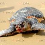 Tartaruga morta a S.Agostino a Gaeta, è la seconda di oggi