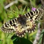 Avvistata nel Parco Ausoni la rara farfalla Zerynthia cassandra