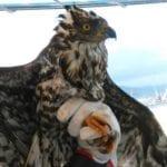Gaeta, coppia di amici si getta in mare per salvare la vita di un falco pecchiaiolo (#VIDEO)