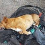 Cane morto dopo il massacro, denunciato il presunto autore. Rischia due anni di carcere
