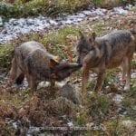 Parco dei Monti Aurunci, avviato il monitoraggio dei lupi