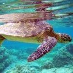 Ok al monitoraggio delle tartarughe marine tra Ventotene e Santo Stefano