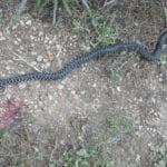 Fondi, grosso serpente attacca cane: fermato da una fucilata