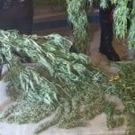 Maxi-operazione a Pontinia: sequestrati oltre 6 chili e mezzo di marijuana