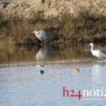 La magnifica danza dei migratori sul lago di Caprolace (foto)