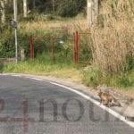 Avvistata una volpe a Formia nei pressi della ex 'D'Agostino' (#VIDEO)