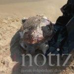 Ritrovata una tartaruga morta sulla spiaggia di Sant'Agostino a Gaeta (#VIDEO)