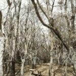 """Incubo Lymantria: dal Circeo alla Riviera d'Ulisse ettari di boschi """"divorati"""""""