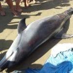"""Delfino morto in spiaggia, Legambiente: """"Accertamenti su nuova epidemia di morbillo"""""""