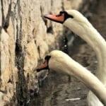 L'avifauna del Lago di Fogliano, gli scatti che raccontano la natura #FOTO