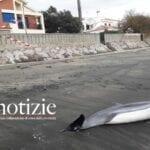 La corrente porta un delfino morto, il rinvenimento sul litorale di Fondi