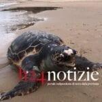 VIDEO – Tartaruga morta in spiaggia: il rinvenimento a Sperlonga