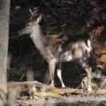 I daini nei boschi, la sorpresa immortalata più volte