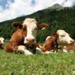 Regione Lazio, bando da 100.000 euro per le imprese zootecniche
