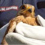 Sabaudia, salvato un esemplare di gheppio ritrovato con un'ala spezzata