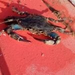 Esemplare di granchio blu segnalato a Sabaudia